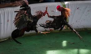 Ministro de Deportes autoriza jugadas de gallos de manera virtual
