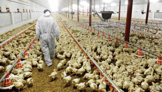 Garantizan producción de pollo, huevos y cerdos durante las navidades