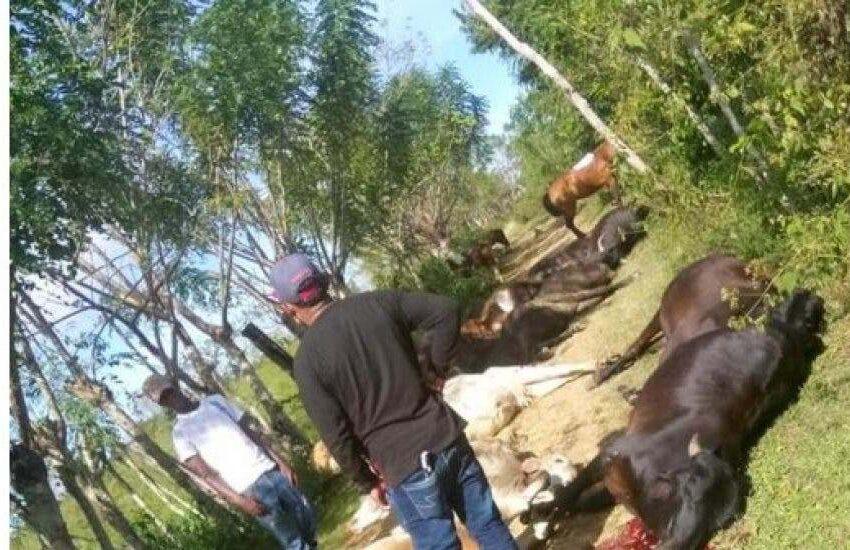 Cable de alta tensión mata 28 vacas en Sabana Grande de Boyá