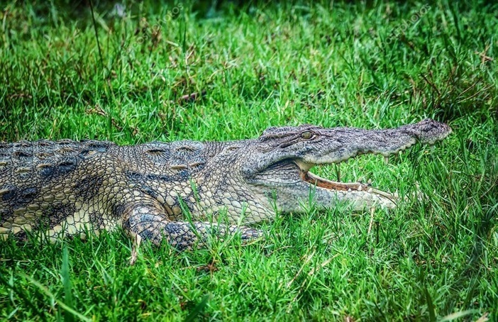Autoridades decomisan 3 cocodrilos al expelotero de Grandes Ligas José Rijo