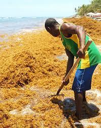 Punta Cana una marea de sargazo continúa inundando las cristalinas playas dominicanas
